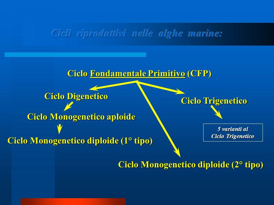 CCCC iiii cccc llll oooo M M M M oooo nnnn oooo gggg eeee nnnn eeee tttt iiii cccc oooo d d d d iiii pppp llll oooo iiii dddd eeee ( ( ( ( 1111 °°°° t t t t iiii pppp oooo ))))Ciclo Fondamentale Primitivo (CFP) Ciclo Digenetico Ciclo Monogenetico aploide Ciclo Monogenetico diploide (2° tipo) Ciclo Trigenetico 5 varianti al Ciclo Trigenetico