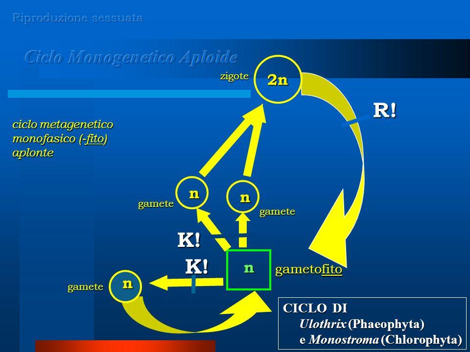 n n 2n n gamete gamete zigote gametofito n K! R! gamete K! ciclo metagenetico monofasico (-fito) aplonte CICLO DI Ulothrix (Phaeophyta) Ulothrix (Phae