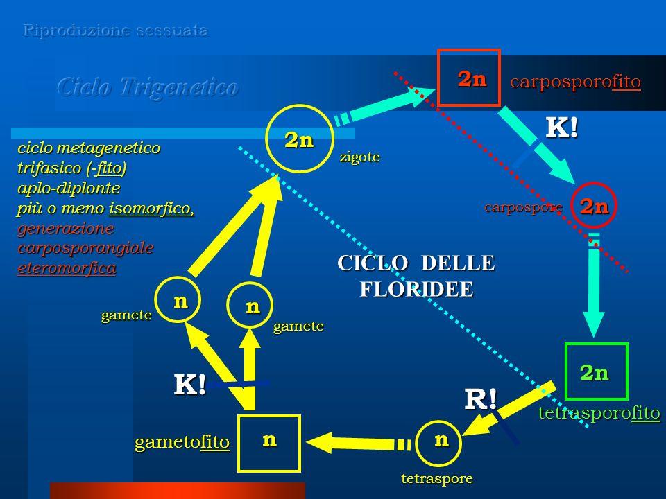 n n 2n nn 2n 2n 2n ciclo metagenetico trifasico (-fito) aplo-diplonte più o meno isomorfico, generazione carposporangiale eteromorfica gamete gamete carpospore zigote carposporofito tetrasporofito gametofito K.