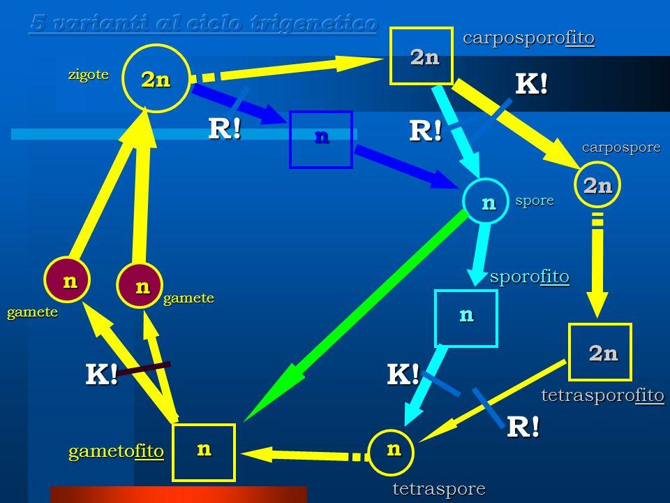n n 2n nn 2n 2n 2n gamete gamete carpospore zigote carposporofito gametofito K.
