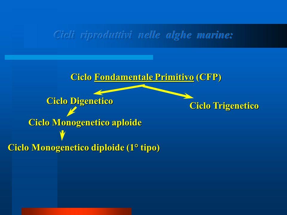 CCCC iiii cccc llll oooo M M M M oooo nnnn oooo gggg eeee nnnn eeee tttt iiii cccc oooo d d d d iiii pppp llll oooo iiii dddd eeee ( ( ( ( 1111 °°°° t t t t iiii pppp oooo ))))Ciclo Fondamentale Primitivo (CFP) Ciclo Digenetico Ciclo Monogenetico aploide Ciclo Trigenetico