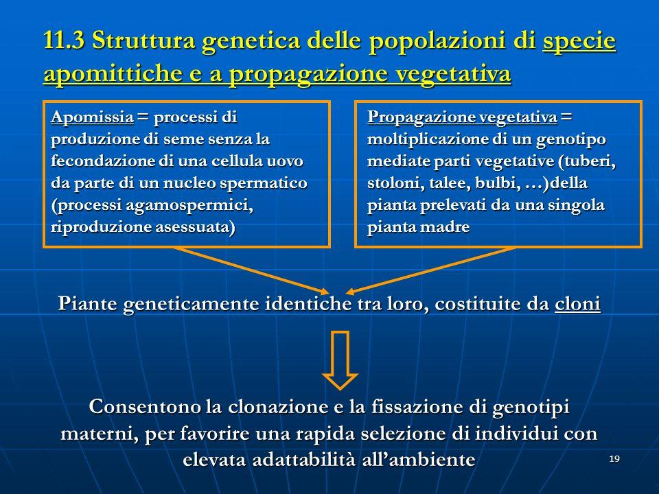 19 11.3 Struttura genetica delle popolazioni di specie apomittiche e a propagazione vegetativa Piante geneticamente identiche tra loro, costituite da