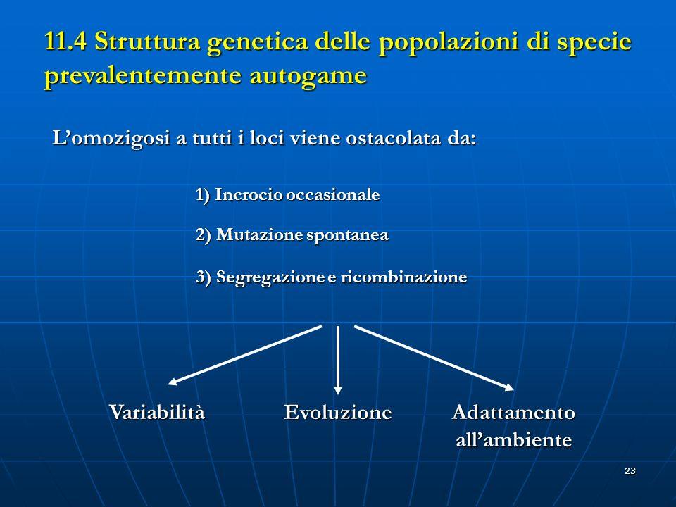 23 11.4 Struttura genetica delle popolazioni di specie prevalentemente autogame Lomozigosi a tutti i loci viene ostacolata da: 1) Incrocio occasionale