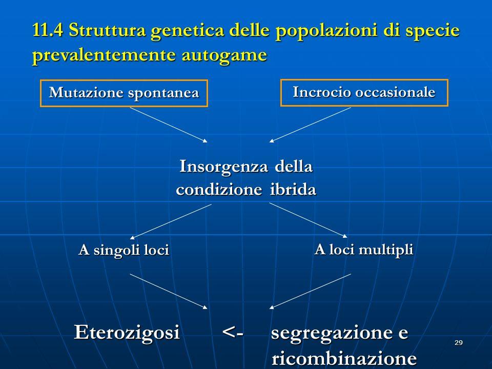 29 11.4 Struttura genetica delle popolazioni di specie prevalentemente autogame Mutazione spontanea Incrocio occasionale Insorgenza della condizione i
