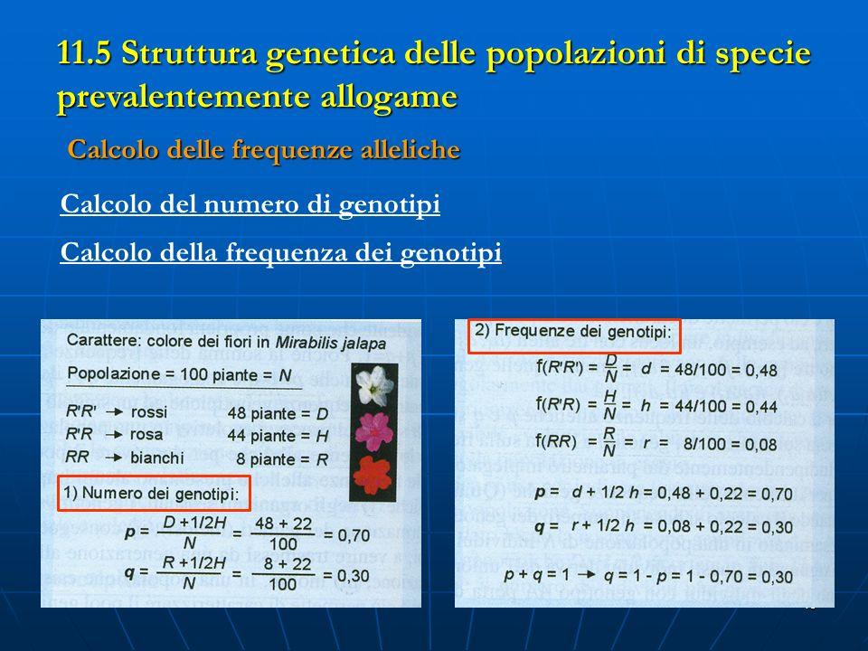 40 11.5 Struttura genetica delle popolazioni di specie prevalentemente allogame Calcolo delle frequenze alleliche Calcolo del numero di genotipi Calco