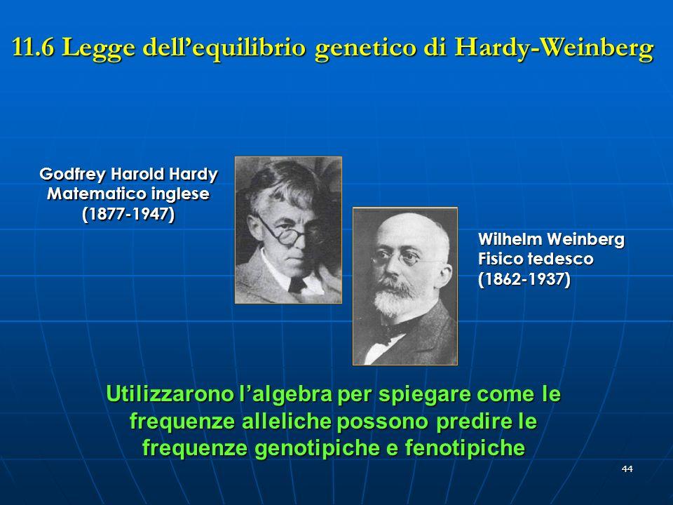 44 Utilizzarono lalgebra per spiegare come le frequenze alleliche possono predire le frequenze genotipiche e fenotipiche Godfrey Harold Hardy Matemati