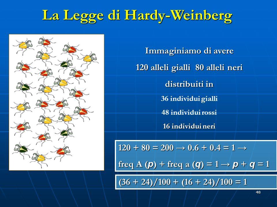 48 Immaginiamo di avere 120 alleli gialli 80 alleli neri distribuiti in 36 individui gialli 48 individui rossi 16 individui neri 120 + 80 = 200 0.6 +