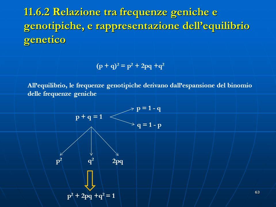 63 11.6.2 Relazione tra frequenze geniche e genotipiche, e rappresentazione dellequilibrio genetico (p + q) 2 = p 2 + 2pq +q 2 Allequilibrio, le frequ