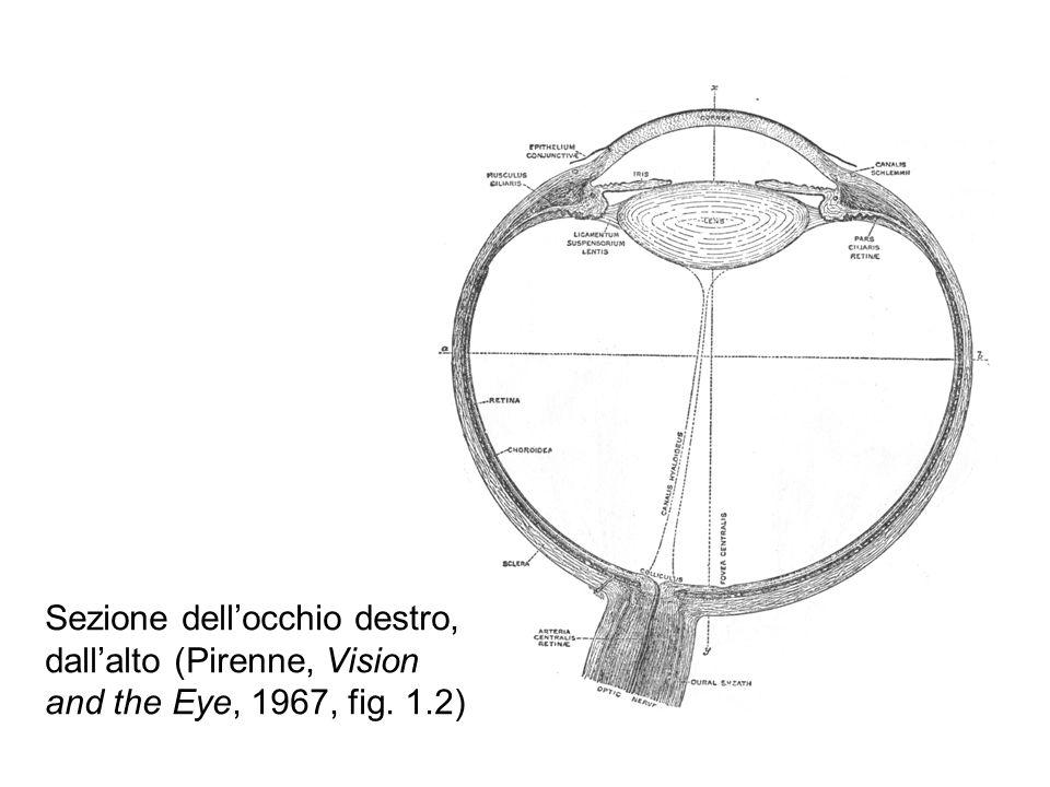 Sezione dellocchio destro, dallalto (Pirenne, Vision and the Eye, 1967, fig. 1.2)