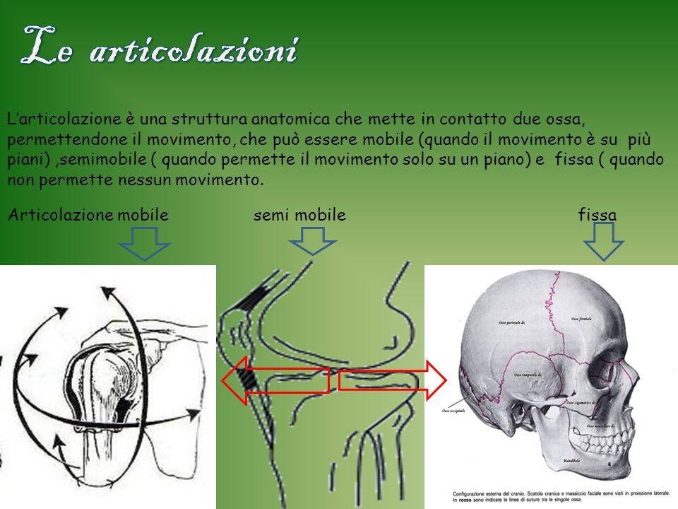 L ultimo argomento affrontato nel museo è stato lapparato scheletrico nei vertebrati Ci siamo soffermati riflettendo su: -articolazioni -Colonna verte