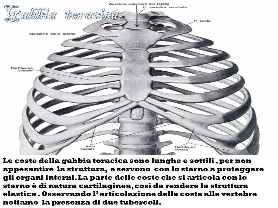Osservando la colonna vertebrale notiamo che essa è formata da più vertebre, ognuna delle quali possiede delle espansioni laterali.