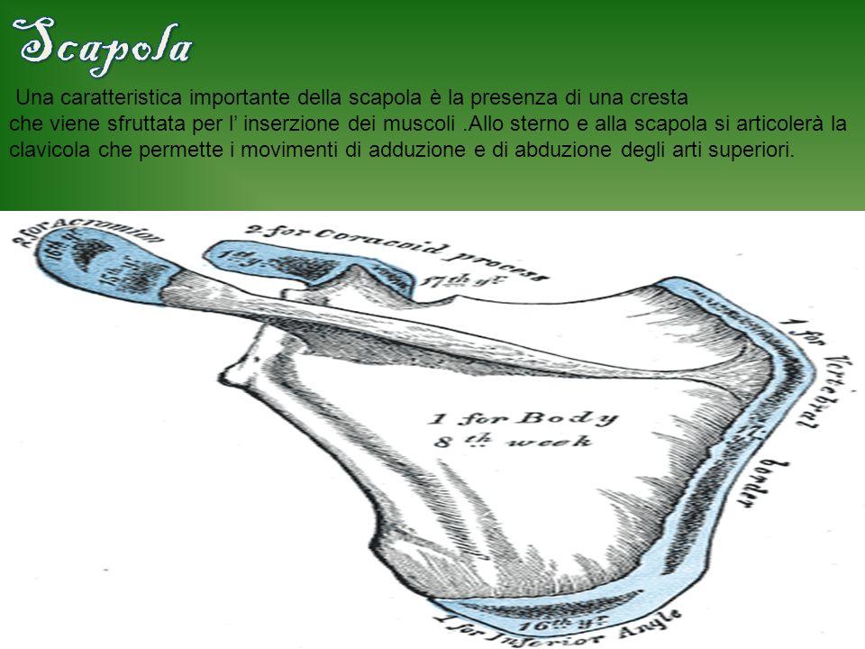 Le coste della gabbia toracica sono lunghe e sottili, per non appesantire la struttura, e servono con lo sterno a proteggere gli organi interni.