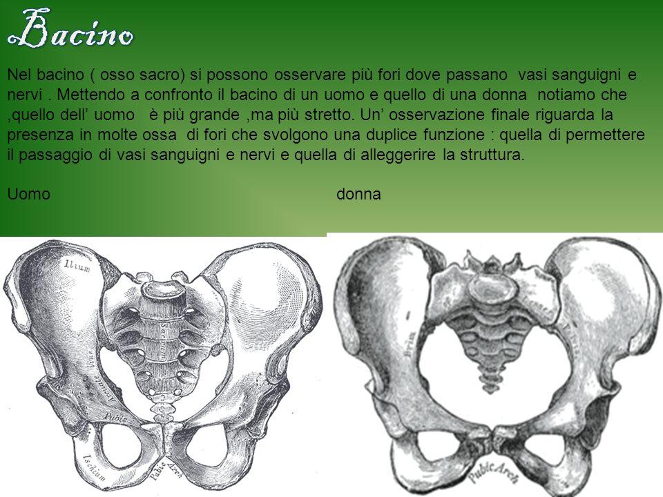 Una caratteristica importante della scapola è la presenza di una cresta che viene sfruttata per l inserzione dei muscoli.Allo sterno e alla scapola si