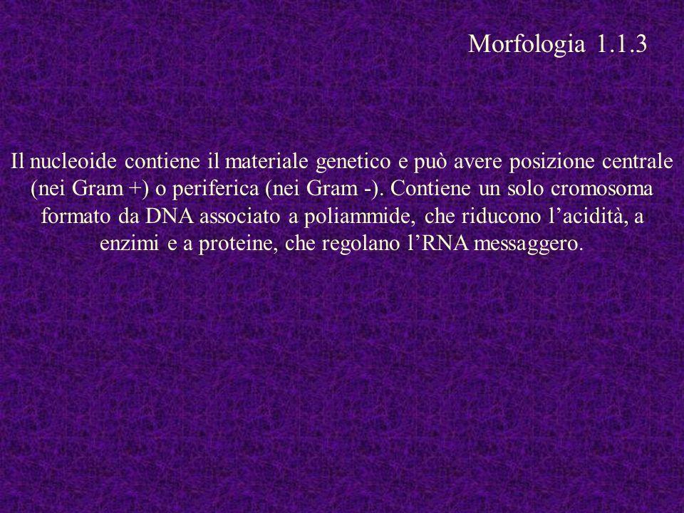 Il nucleoide contiene il materiale genetico e può avere posizione centrale (nei Gram +) o periferica (nei Gram -). Contiene un solo cromosoma formato