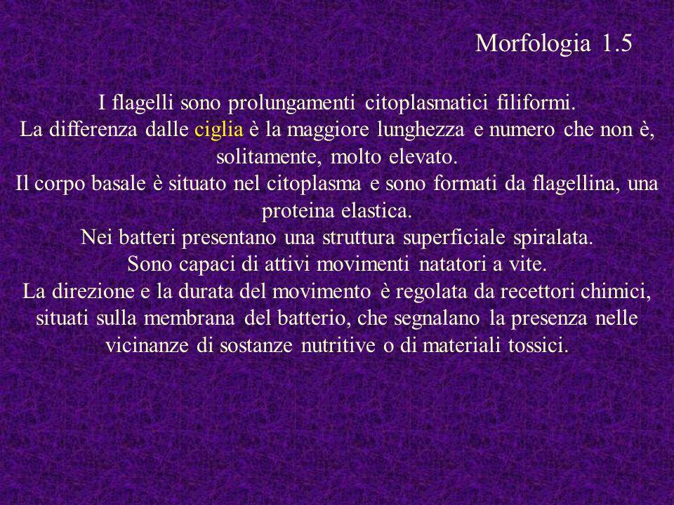 I flagelli sono prolungamenti citoplasmatici filiformi. La differenza dalle ciglia è la maggiore lunghezza e numero che non è, solitamente, molto elev