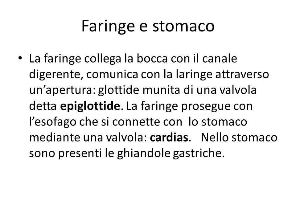 Faringe e stomaco La faringe collega la bocca con il canale digerente, comunica con la laringe attraverso unapertura: glottide munita di una valvola detta epiglottide.