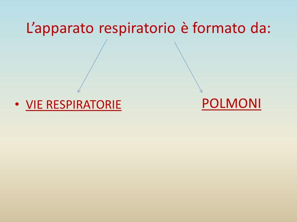 Vie respiratorie Le cavità nasali,che sboccano nella faringe,organo in comune con lapparato digerente; La laringe, un organo a forma di imbuto rivestito internamente da una mucosa le cui pieghe formano le corde vocali; La trachea,un tubo lungo 12 cm circa costituito da una serie di cartilagini aperte posteriormente e tappezzato internamente da ciglia vibratili; I bronchi, una biforcazione della trachea;essi penetrano nei polmoni e si ramificano in bronchioli sempre più piccoli.