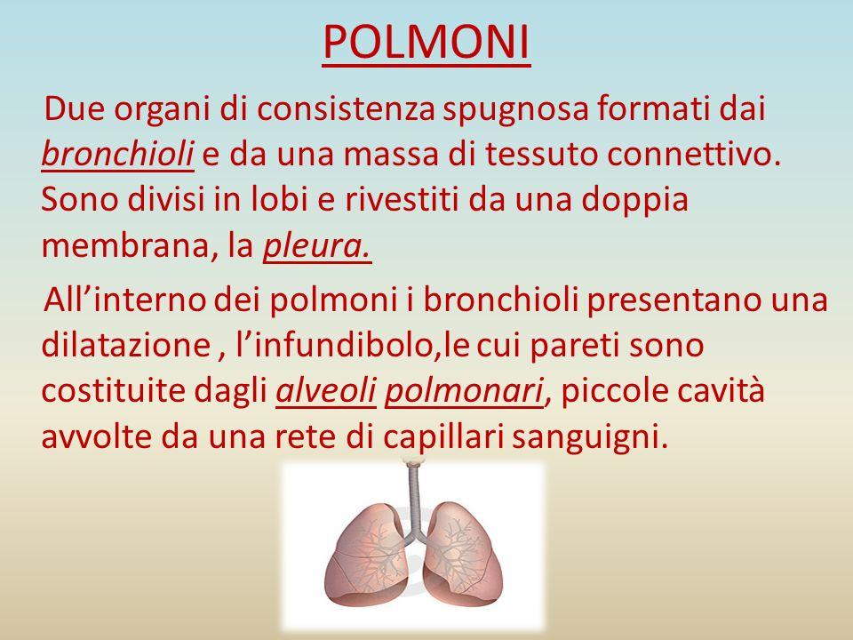 POLMONI Due organi di consistenza spugnosa formati dai bronchioli e da una massa di tessuto connettivo. Sono divisi in lobi e rivestiti da una doppia