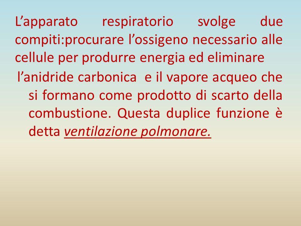 Lapparato respiratorio svolge due compiti:procurare lossigeno necessario alle cellule per produrre energia ed eliminare lanidride carbonica e il vapor