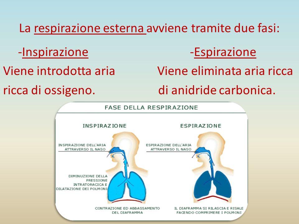 La respirazione esterna avviene tramite due fasi: -Inspirazione -Espirazione Viene introdotta aria Viene eliminata aria ricca ricca di ossigeno. di an