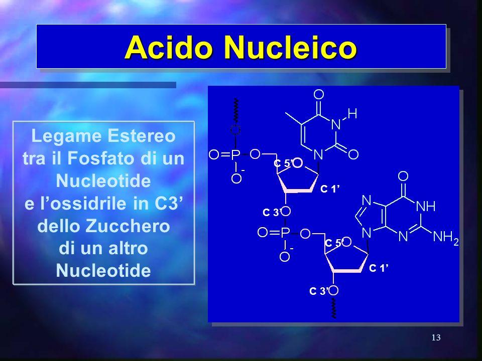 13 Acido Nucleico Legame Estereo tra il Fosfato di un Nucleotide e lossidrile in C3 dello Zucchero di un altro Nucleotide C 3 C 5 C 1 C 3 C 5