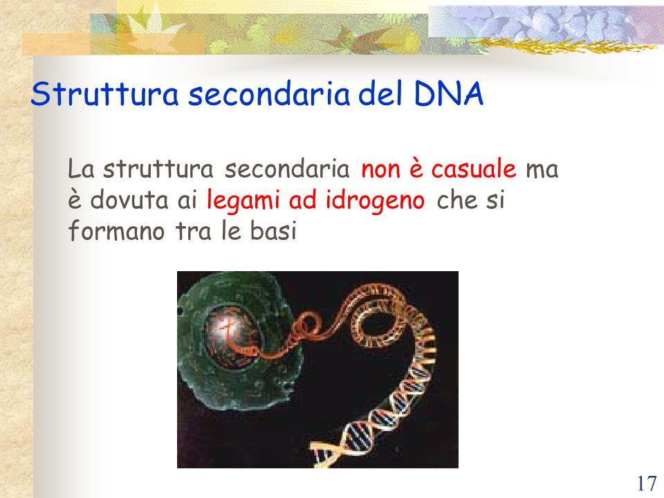 17 Struttura secondaria del DNA La struttura secondaria non è casuale ma è dovuta ai legami ad idrogeno che si formano tra le basi