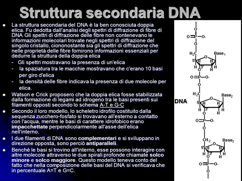 18 Struttura secondaria DNA La struttura secondaria del DNA è la ben conosciuta doppia elica. Fu dedotta dall'analisi degli spettri di diffrazione di