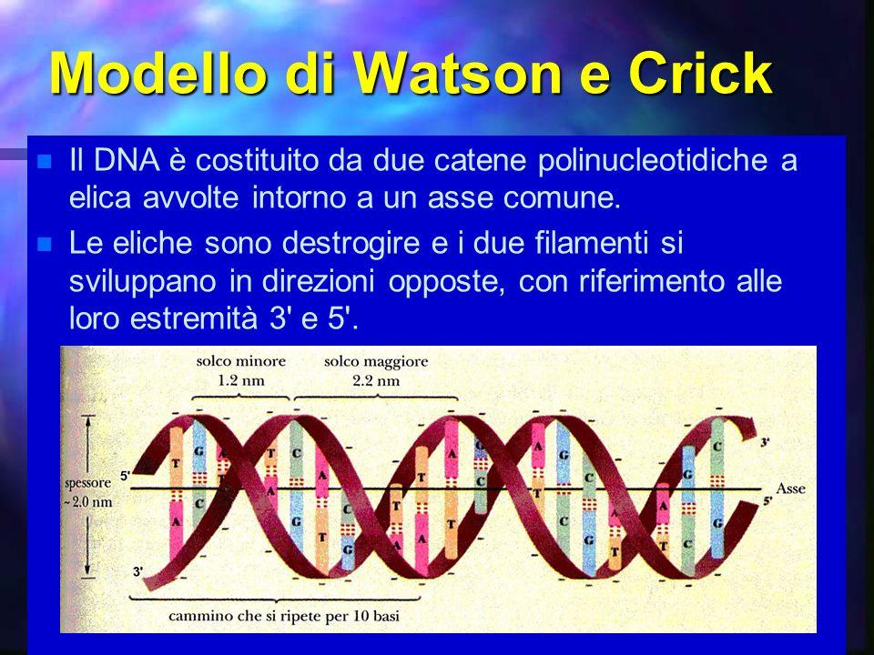 19 Modello di Watson e Crick Il DNA è costituito da due catene polinucleotidiche a elica avvolte intorno a un asse comune. Le eliche sono destrogire e