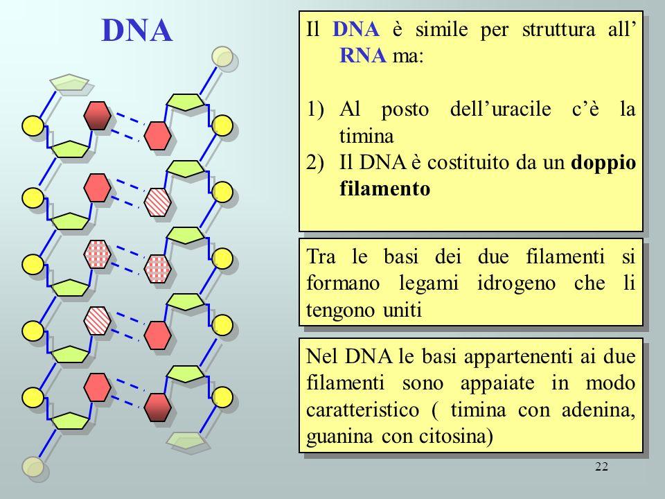 22 Il DNA è simile per struttura all RNA ma: 1)Al posto delluracile cè la timina 2)Il DNA è costituito da un doppio filamento Il DNA è simile per stru