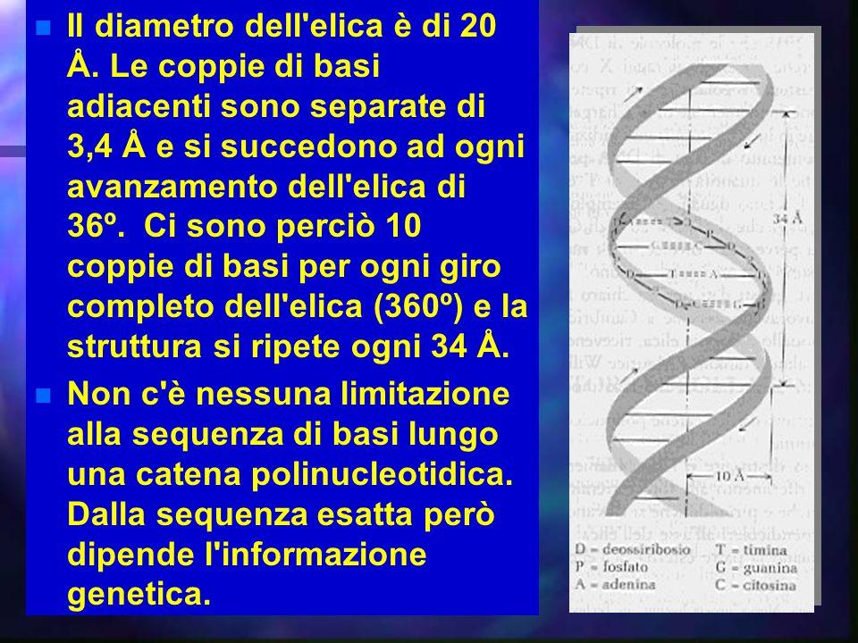 27 Il diametro dell'elica è di 20 Å. Le coppie di basi adiacenti sono separate di 3,4 Å e si succedono ad ogni avanzamento dell'elica di 36º. Ci sono
