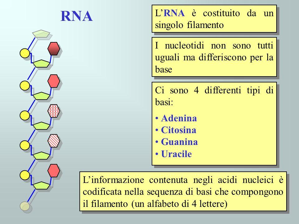 30 LRNA è costituito da un singolo filamento I nucleotidi non sono tutti uguali ma differiscono per la base Ci sono 4 differenti tipi di basi: Adenina