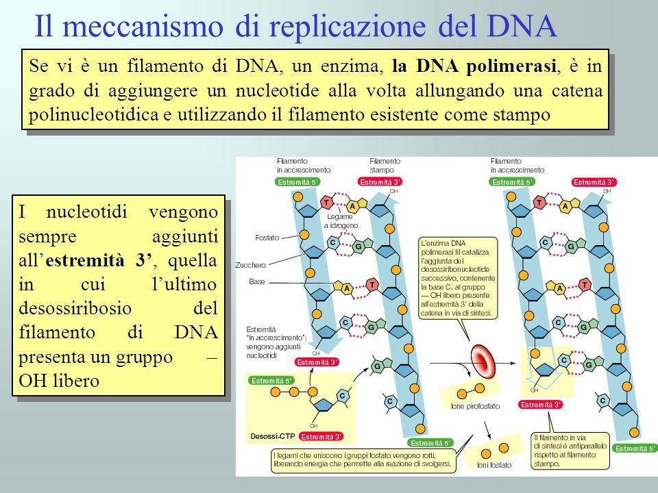 40 I nucleotidi vengono sempre aggiunti allestremità 3, quella in cui lultimo desossiribosio del filamento di DNA presenta un gruppo – OH libero Il me