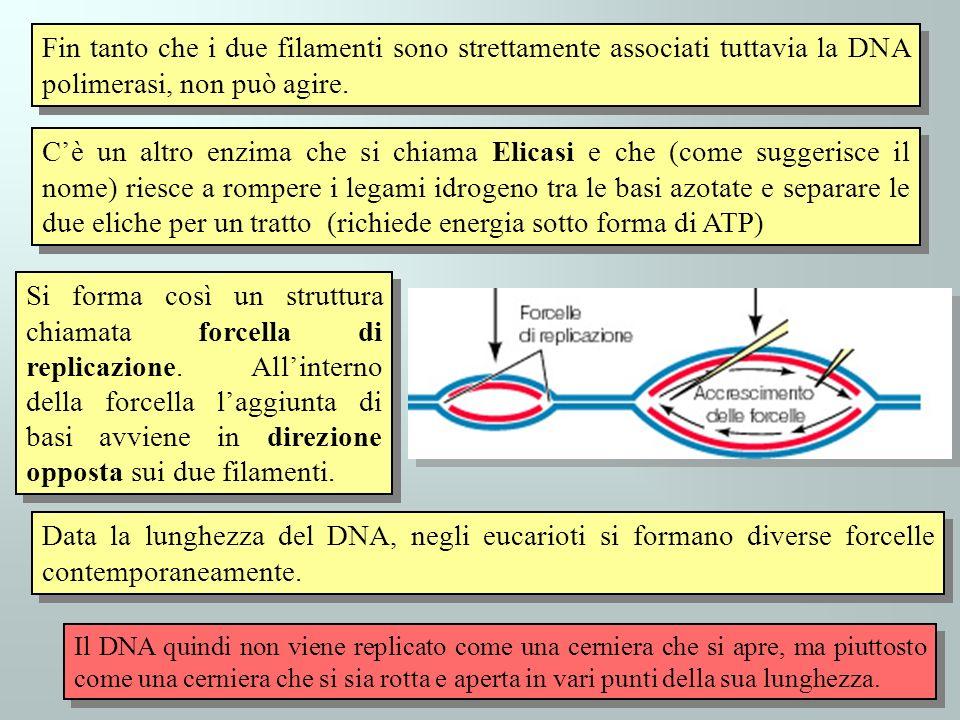 41 Fin tanto che i due filamenti sono strettamente associati tuttavia la DNA polimerasi, non può agire. Cè un altro enzima che si chiama Elicasi e che