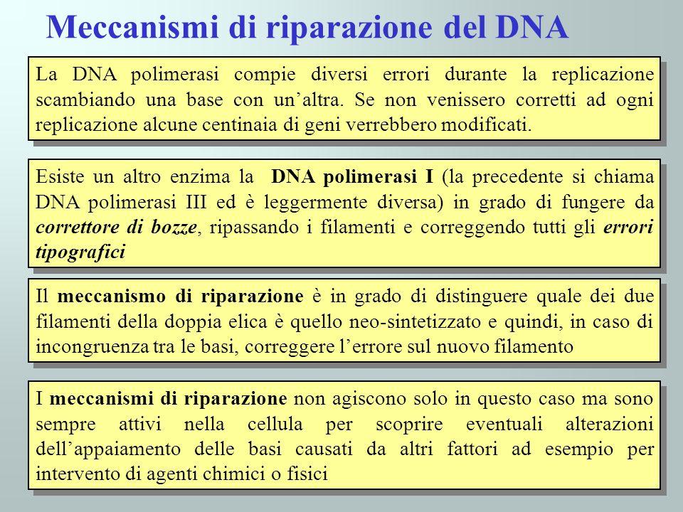 42 La DNA polimerasi compie diversi errori durante la replicazione scambiando una base con unaltra. Se non venissero corretti ad ogni replicazione alc