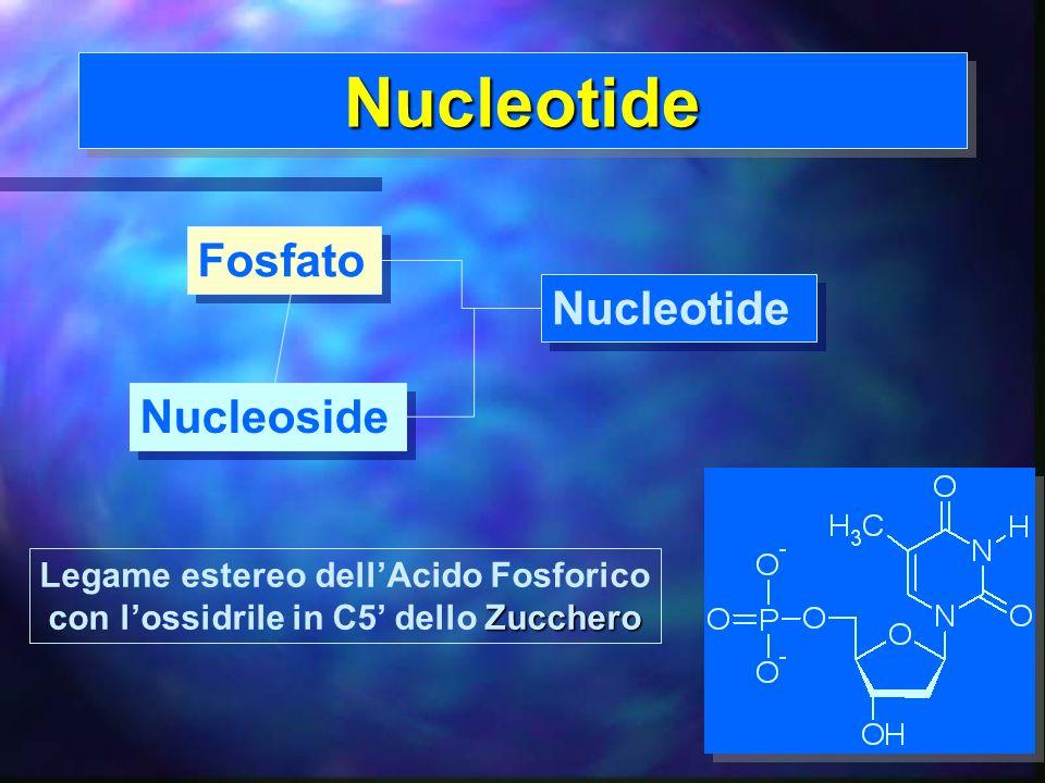 9 NucleotideNucleotide Legame estereo dellAcido Fosforico Zucchero con lossidrile in C5 dello Zucchero Fosfato Nucleoside Nucleotide