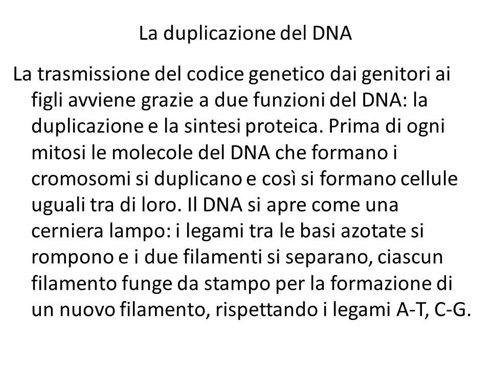 La duplicazione del DNA La trasmissione del codice genetico dai genitori ai figli avviene grazie a due funzioni del DNA: la duplicazione e la sintesi