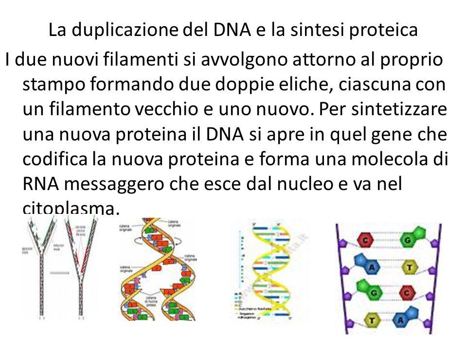 La duplicazione del DNA e la sintesi proteica I due nuovi filamenti si avvolgono attorno al proprio stampo formando due doppie eliche, ciascuna con un