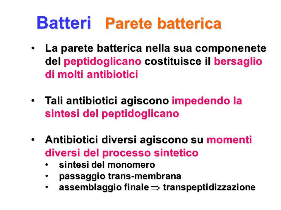 Batteri Parete batterica La parete batterica nella sua componenete del peptidoglicano costituisce il bersaglio di molti antibioticiLa parete batterica
