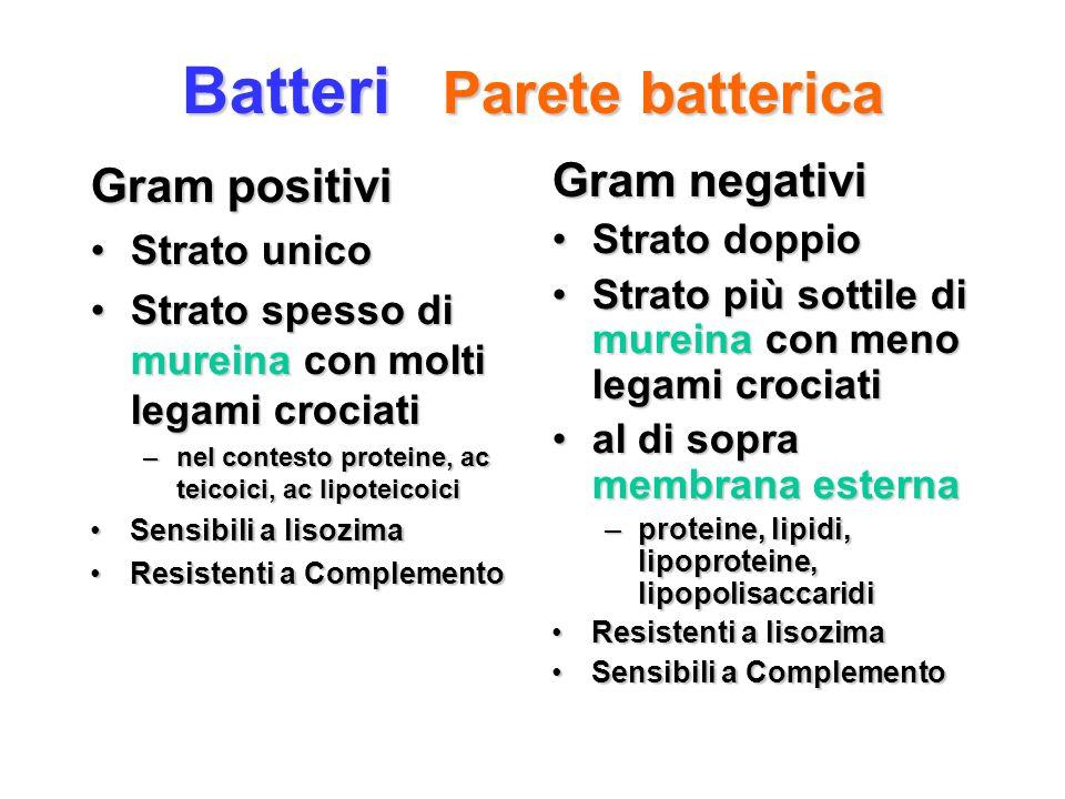 Batteri Parete batterica Gram positivi Strato unicoStrato unico Strato spesso di mureina con molti legami crociatiStrato spesso di mureina con molti l