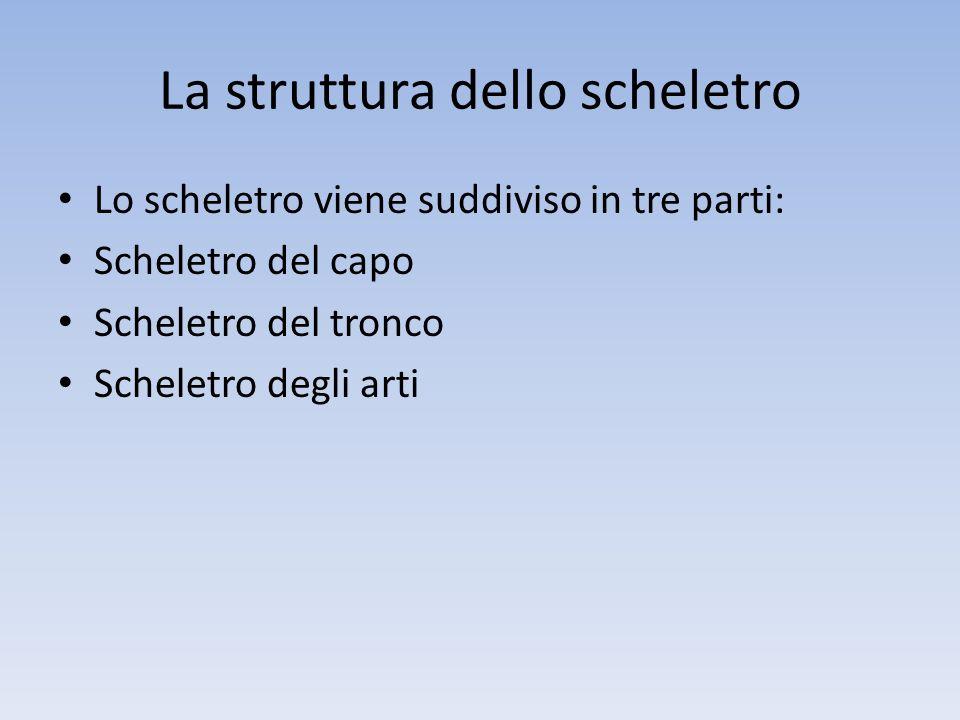 La struttura dello scheletro Lo scheletro viene suddiviso in tre parti: Scheletro del capo Scheletro del tronco Scheletro degli arti