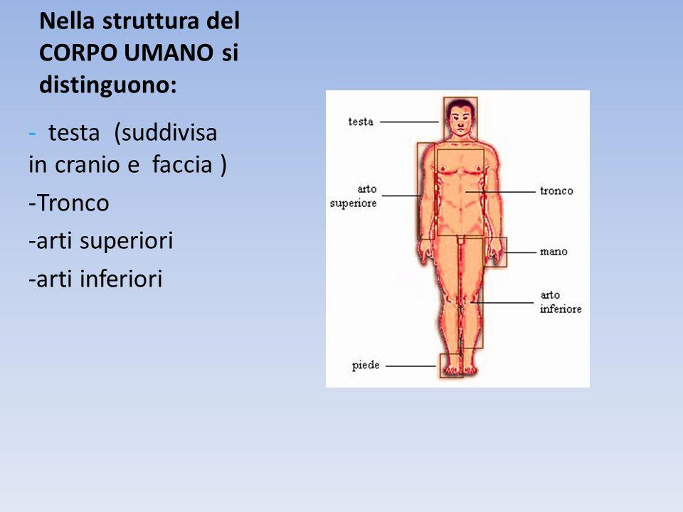 Nella struttura del CORPO UMANO si distinguono: - testa (suddivisa in cranio e faccia ) -Tronco -arti superiori -arti inferiori