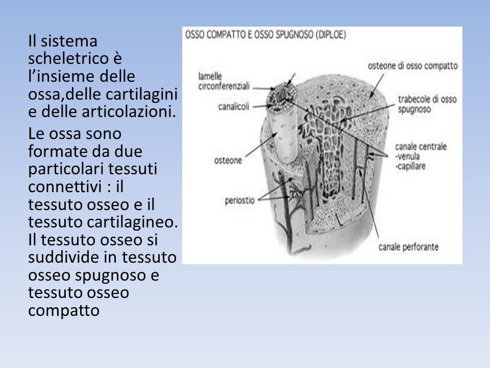 Il sistema scheletrico è linsieme delle ossa,delle cartilagini e delle articolazioni.