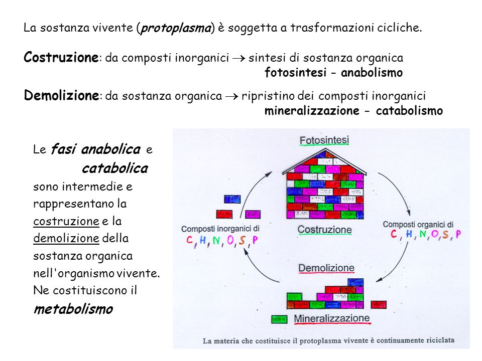 Costruzione : da composti inorganici sintesi di sostanza organica fotosintesi - anabolismo Le fasi anabolica e catabolica sono intermedie e rappresent