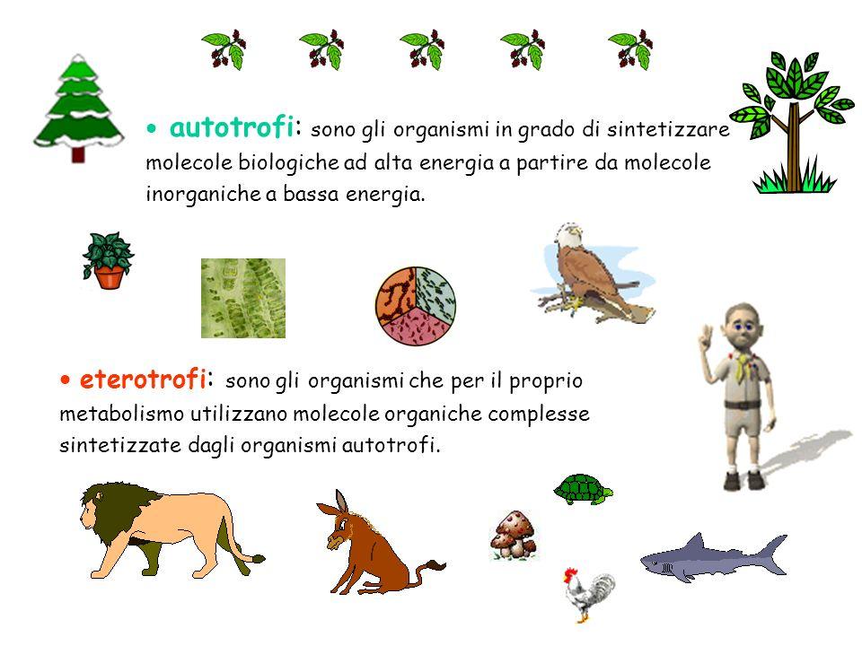 autotrofi: sono gli organismi in grado di sintetizzare molecole biologiche ad alta energia a partire da molecole inorganiche a bassa energia. eterotro
