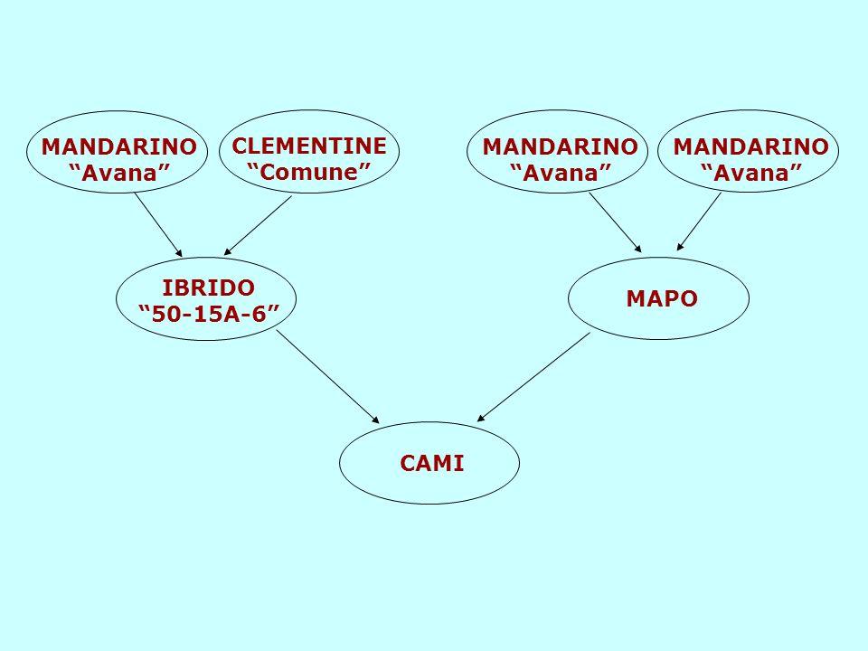 MANDARINO Avana CLEMENTINE Comune IBRIDO 50-15A-6 MANDARINO Avana MAPO CAMI