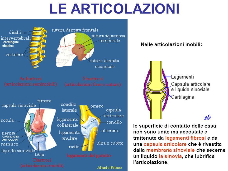 LE ARTICOLAZIONI CARTILAGINI ARTICOLARI le superficie di contatto delle ossa non sono unite ma accostate e trattenute da legamenti fibrosi e da una ca