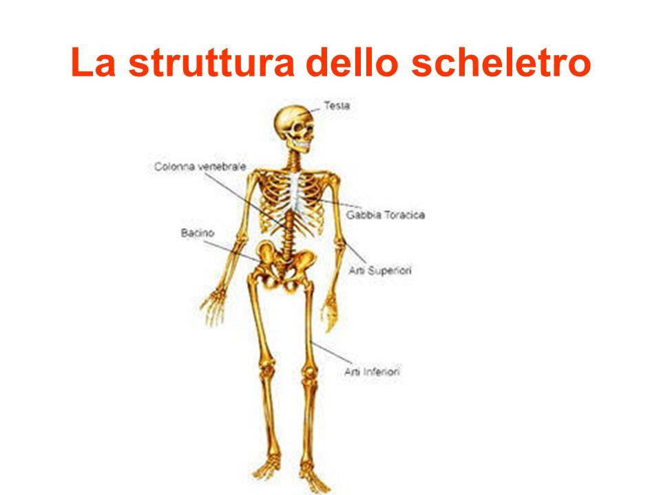 La struttura dello scheletro