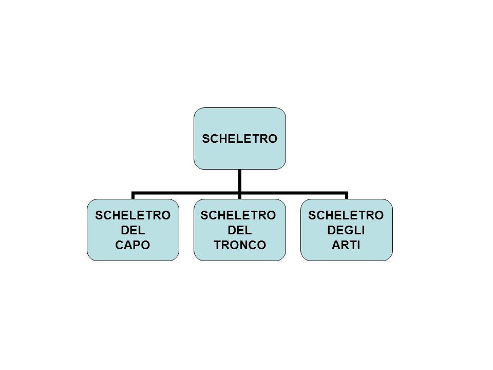 SCHELETRO DEL CAPO SCHELETRO DEL TRONCO SCHELETRO DEGLI ARTI