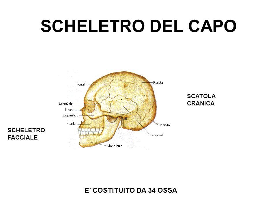 SCHELETRO DEL CAPO E COSTITUITO DA 34 OSSA SCATOLA CRANICA SCHELETRO FACCIALE