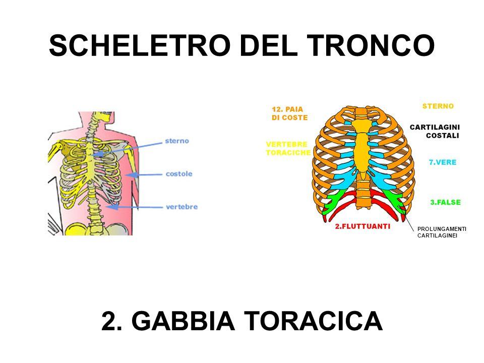 SCHELETRO DEL TRONCO 2. GABBIA TORACICA PROLUNGAMENTI CARTILAGINEI